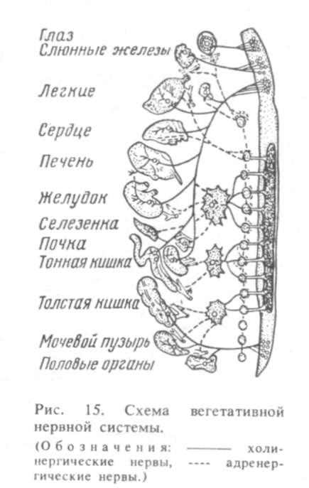 15). схема вегетативной