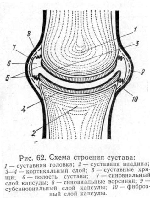 Челюстной сустав у животных 3 месяца после эндопротезирования коленного сустава