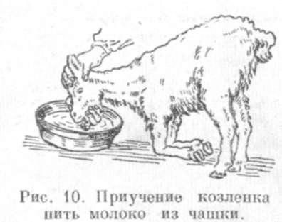 Козленок не пьет молоко что делать