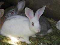 rabbits-kroliki-8368