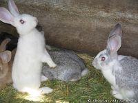 rabbits-kroliki-8369