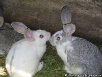 rabbits-kroliki-8370