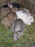 rabbits-kroliki-8471