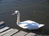 swan-lebed-5889
