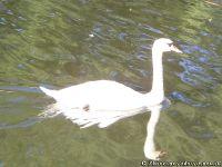 swan-lebed-5890