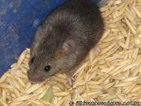 mouse-mysh-6419