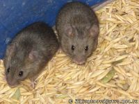 mouse-mysh-6420