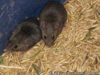 mouse-mysh-6423