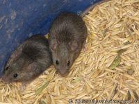 mouse-mysh-6424