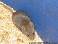 mouse-mysh-6425