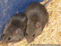 mouse-mysh-6427