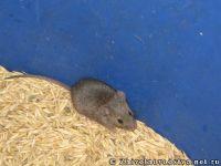 mouse-mysh-6429