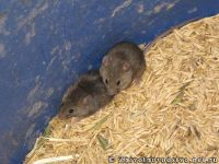 mouse-mysh-6430