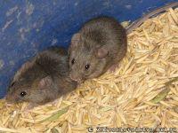 mouse-mysh-6432