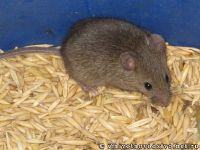 mouse-mysh-6433