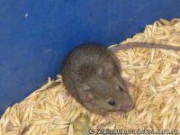 mouse-mysh-6434