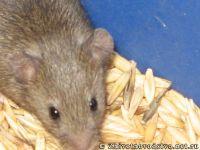 mouse-mysh-6435