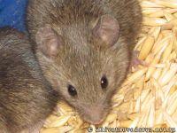 mouse-mysh-6441