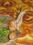 snail-ulitka-7585