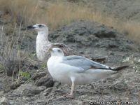 chajka-seagull-1708