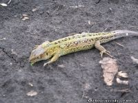 lizard-yascherica-9184