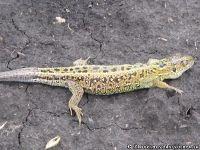 lizard-yascherica-9189