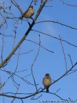 sparrows-vorobi-0038