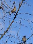 sparrows-vorobi-0039