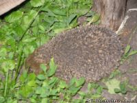 hedgehog-ezh-4589