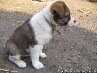 dog-puppy-sobaka-schenok-9457