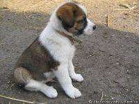 dog-puppy-sobaka-schenok-9458