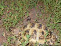 Черепаха черепашка