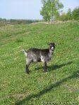 goat-goat-kozel-koza-0951