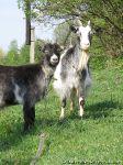 Козел коза