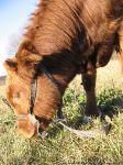 cow-bull-korova-byk-0109