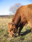 cow-bull-korova-byk-0113