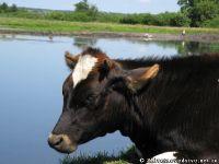 cow-bull-korova-byk-9142