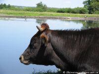Корова бык