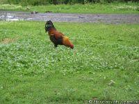 chicken-cock-kurica-petuh-1216