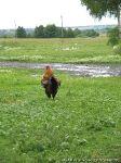 chicken-cock-kurica-petuh-1222