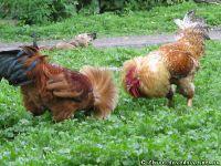 chicken-cock-kurica-petuh-8381