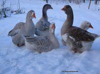 goose-gander-gusinya-gusak-3