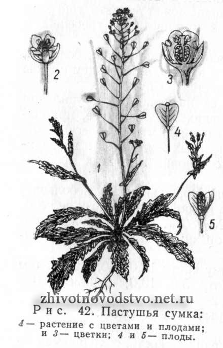 49e7802d7f89 Пастушья сумка - Capsella bursa pastoris (L.) Med.
