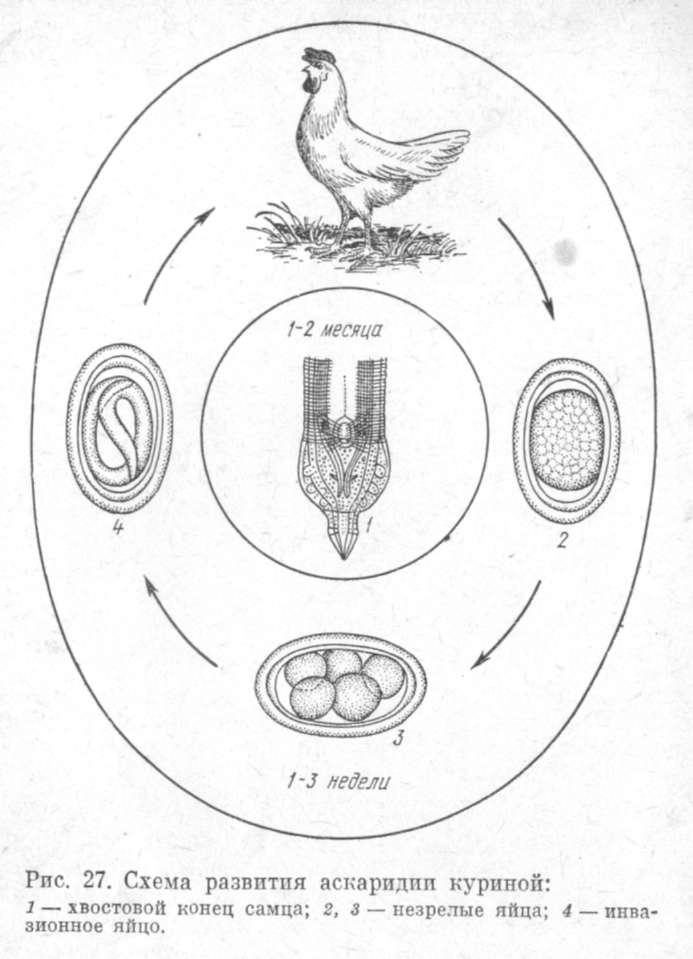 Железы Либеркюновы фото