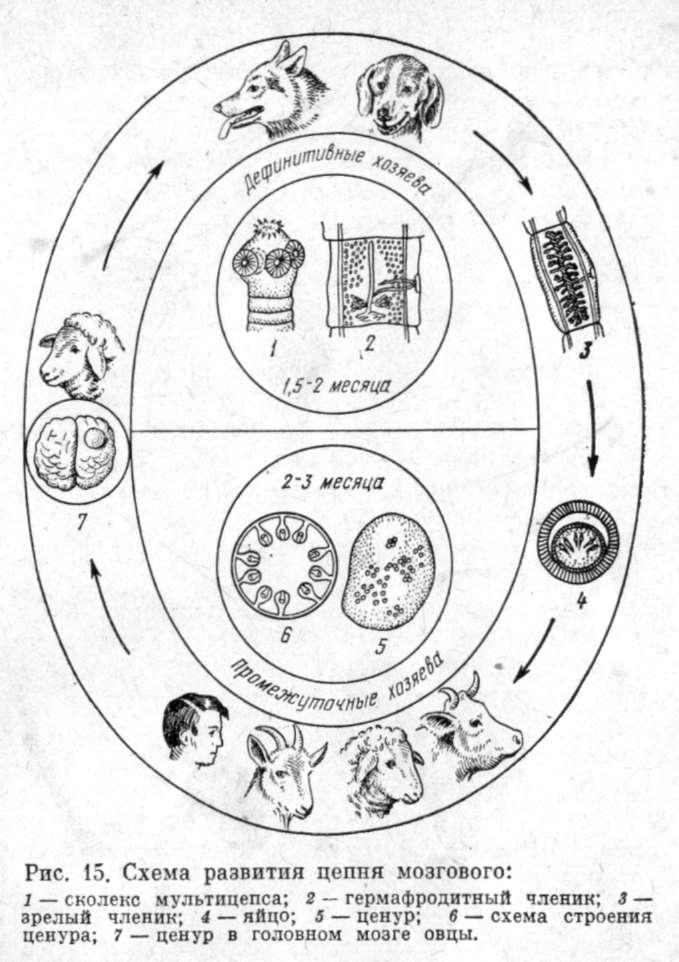 Онкосфера