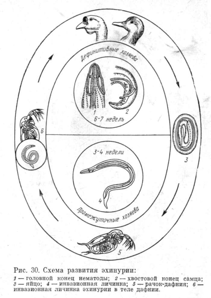 Жизненный цикл.  Эхинурия - биогельминт.