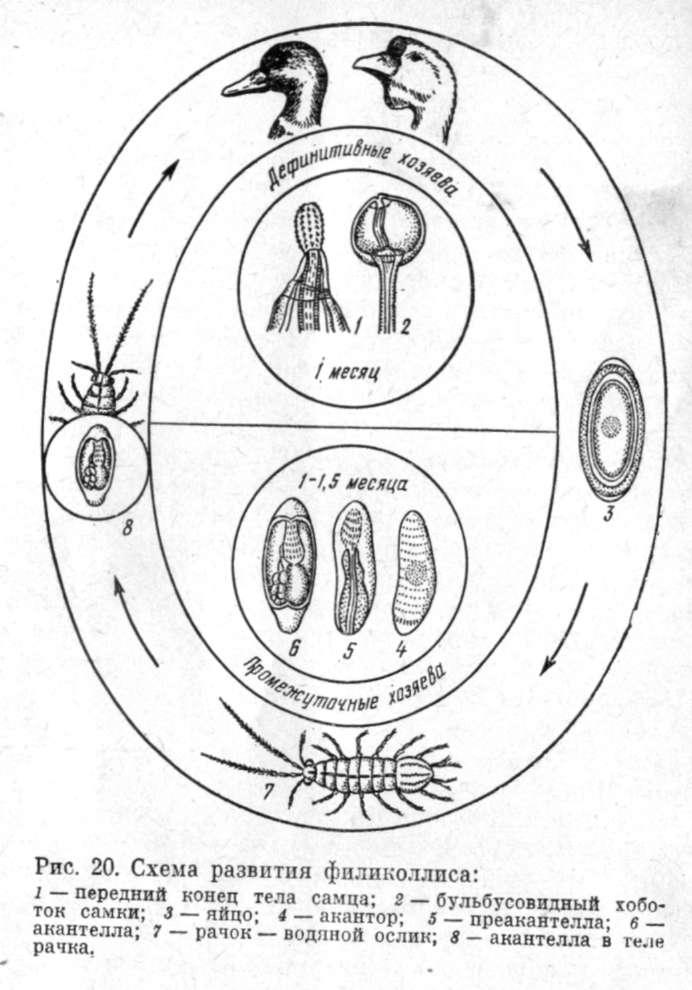 Акантоцефалёзы