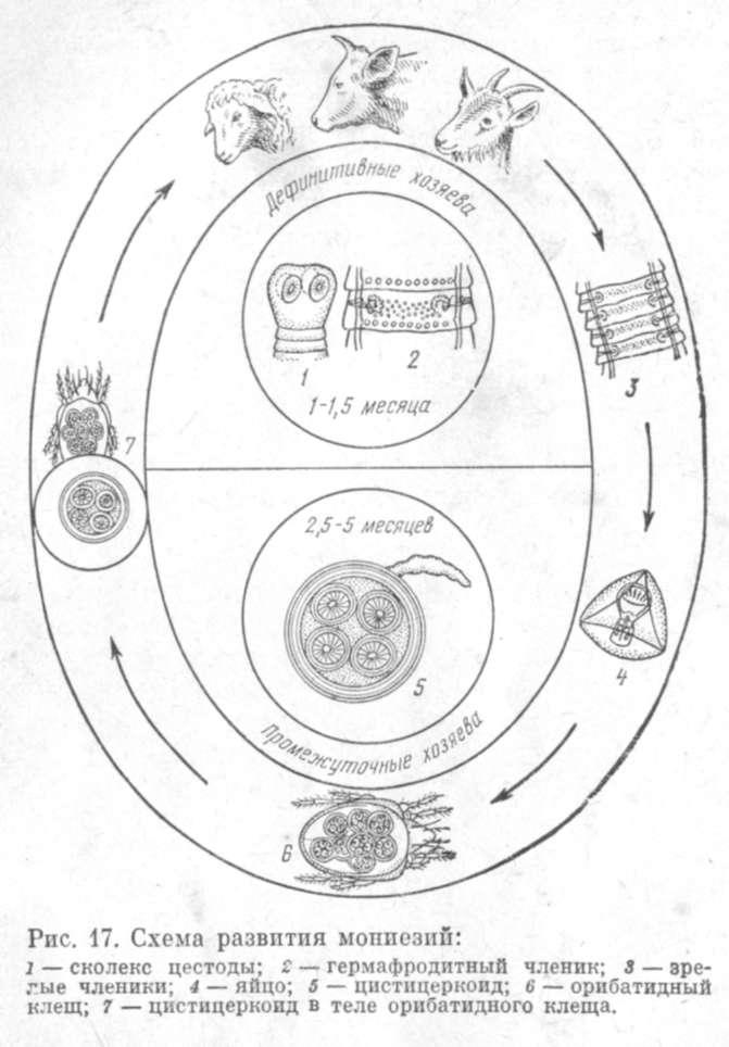 17). схема развития мониезий