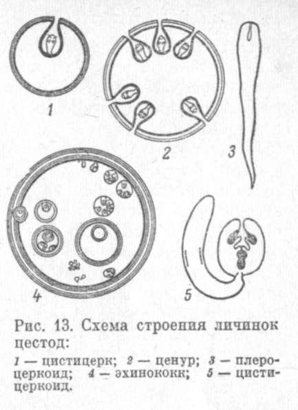 13). схема строения личинок