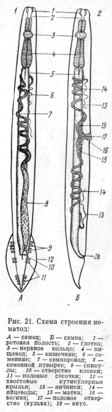 Круглые черви, как правило,